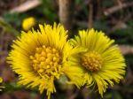 normal_floare-galbena